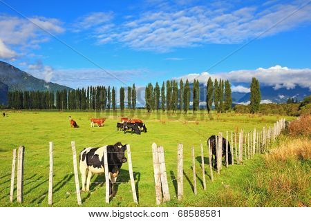Rural idyll in Chilean Patagonia. Orange and black cow grazing on grass field. Field fenced low fence