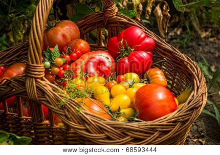 closeup of basket with different types of tomatoes in a garden