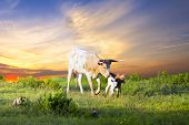stock photo of texas-longhorn  - Female Longhorn cow grazing in a Texas pasture at sunrise with two newborn calves - JPG