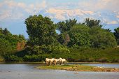 pic of great horse  - Herd of wild Camargue horses Soca River Mouth - Italy ** Note: Visible grain at 100%, best at smaller sizes - JPG