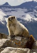 image of marmot  - Close up of a marmot in Glacier nature daytime - JPG