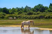 stock photo of great horse  - Herd of wild Camargue horses Soca River Mouth  - JPG