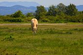 image of great horse  - View of white camargue horse Soca mouth river