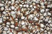pic of cockle shell  - a group of Thai shells blood cockles for background uses - JPG