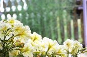 picture of petunia  - White Petunia outdoor at the summer home decoration - JPG