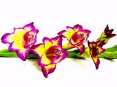 image of gladiolus  - a mauve yellow gladiolus to white reason - JPG