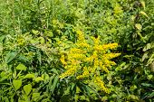 pic of goldenrod  - Yellow blooming Goldenrod or Solidago plants in their natural habitat - JPG