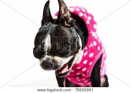 Boston Terrier Dog Laughing Yawning