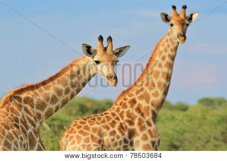 Giraffe - African Wildlife Background - Posing Friends