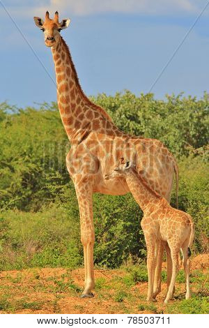 Giraffe - African Wildlife Background - Loving Mom