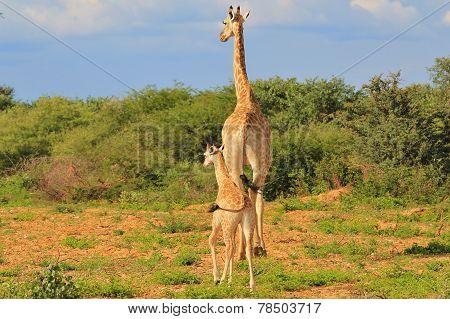 Giraffe - Baby Animals from wild Nature