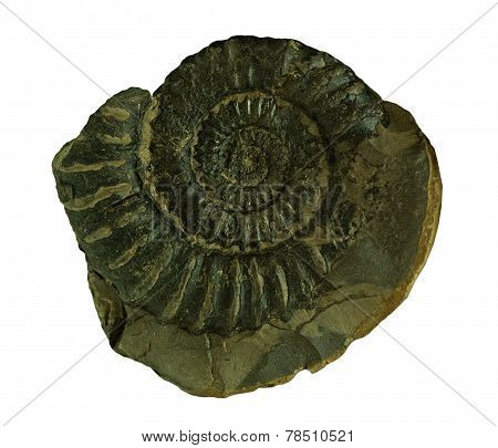 Ammonites Fossil  On A Whte Background