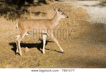 Young Blacktail Buck