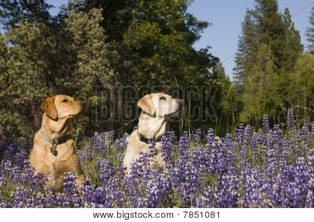 pair of Labs in the flowers