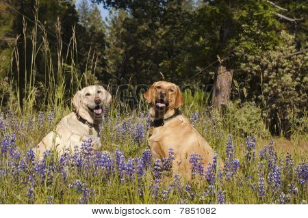 Two Labradors In The Flowers