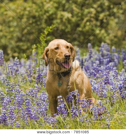 Labrador in the flowers