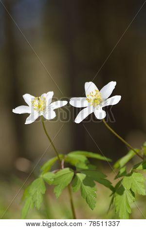 wood anemone (Anemone nemorosa) close up