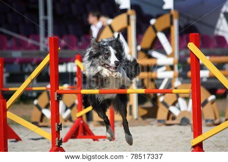 Cute Gray And Black Border Collie Jumping Over The Barrier