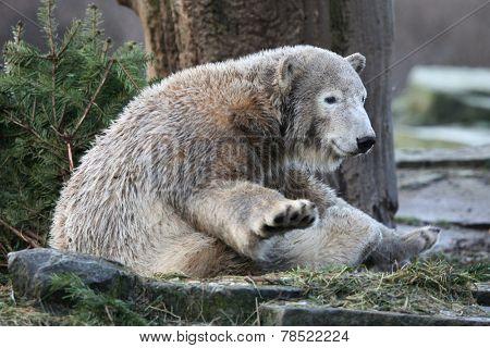 Young polar bear (Ursus maritimus).