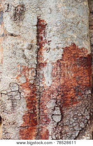 Wood bark texture of big tree.