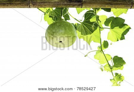 Bottle Gourd Isolated