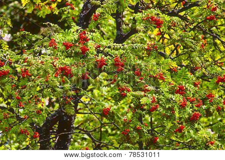 Berries Of A Mountain Ash