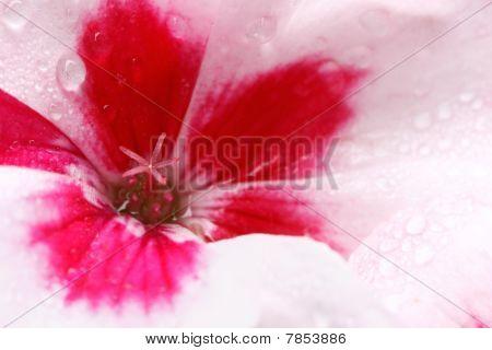 Geranium Covered In Dewdrops