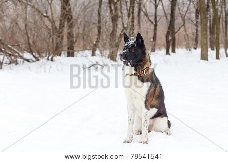 Akita Dog Breed With A Black Muzzle Winter In The Park