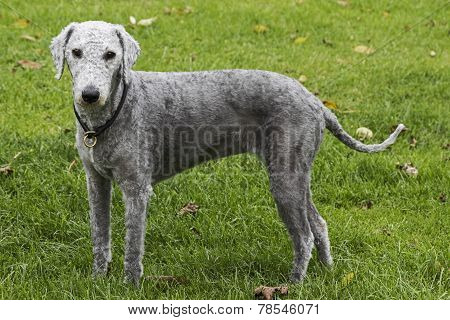 Freshly Clipped Bedlington Terrier