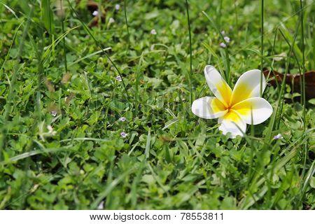 Plumeria White Flowers On Grass Background.