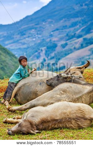 SAPA, VIETNAM - JUNE 10, 2011: Unidentified Vietnamese boy with buffaloes in Ta Van village. Though Vietnam's economic growth rate is among the highest in the world, poverty rate is still high
