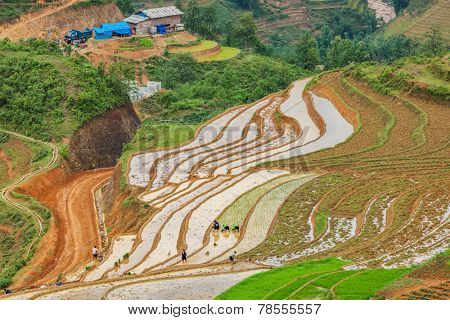 SAPA, VIETNAM - JUNE 10, 2011: Unidentified people working in rice field terraces (rice paddy) near Ta Van village. Vietnam is one of the top rice exporting countries in the world