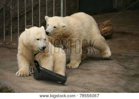 Two polar bear cubs (Ursus maritimus).