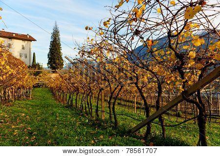 Vineyards of Trentino, Italy, autumn scenics