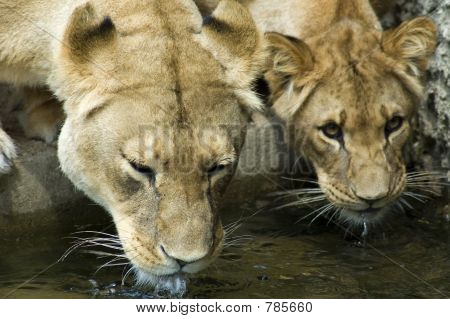 Two drinking Lionesses