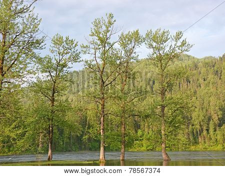 Mountain River And Poplar Tree