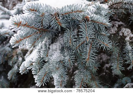 Snow-covered Fir Branch