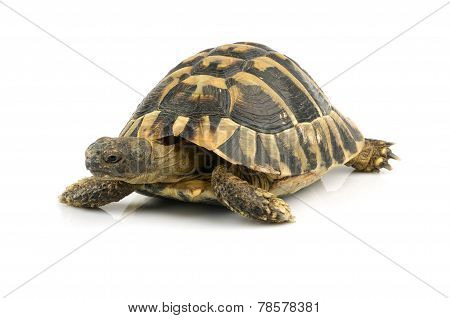 Tortoise on white