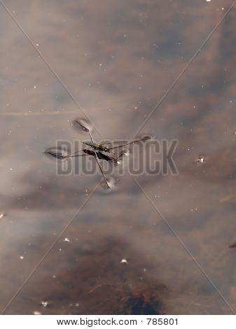 Gerris lacustris (common pond skater)