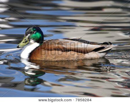 Male Hybrid Mallard Duck