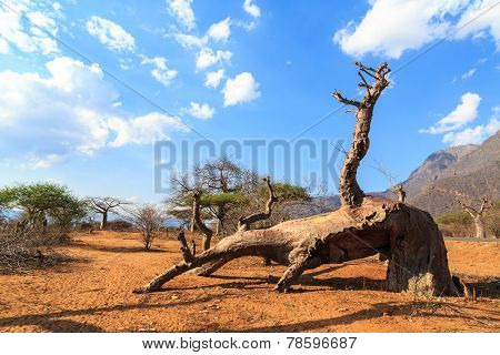 Broken Trunk Of Baobab Tree In A Boabab Forest