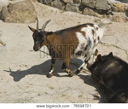 Diminutive Goat And Pig