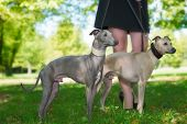 foto of greyhounds  - Legs of the girl and  two greyhounds in the park - JPG