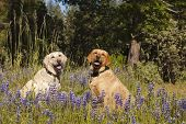 stock photo of obey  - Two female Labradors sitting in the wildlflowers obeying the stay command - JPG
