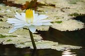 stock photo of lilly  - White water lilly in the lake - JPG