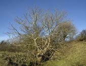 picture of ash-tree  - European Ash Tree in Winter - Fraxinus excelsior ** Note: Visible grain at 100%, best at smaller sizes - JPG