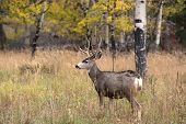 stock photo of mule  - A large mule deer buck standing in a meadow with aspen trees in the background in Rocky Mountain National Park near Estes Park Colorado - JPG