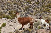 stock photo of lamas  - Adult llama  - JPG