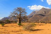 foto of baobab  - Baobab trees in a valley in Tanzania Africa - JPG