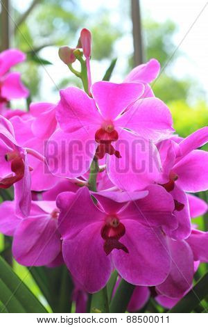 Orchids in the garden (Phalaenopsis Hybrid)